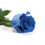 Rosa-Natura-Preservada-Azul