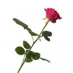 Rosa-Natura-Preservada-Roja